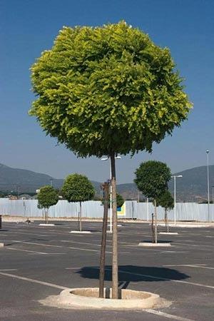 Bolbomen for Arboles de hoja perenne para jardin